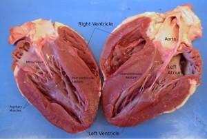 หัวใจมนุษย์